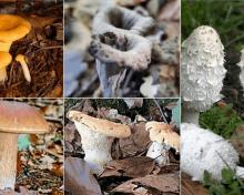 Décortiquons cinq champignons que vous trouverez dans l'Aube