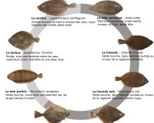 Espèces du mois : les poissons plats