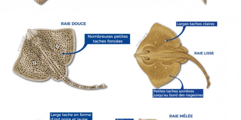 Connaissez-vous les différentes espèces de raies présentes en Manche et Mer du Nord ?