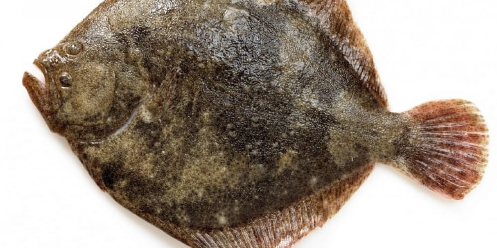 Le Turbot, ce beau poisson plat en forme de losange…
