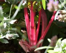 La Rhubarbe, c'est la saison.