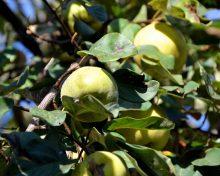 Savez-vous d'où vient … la Pomme ?!