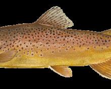 Reconnaissez-vous ce poisson ?  Tout savoir sur la truite, une espèce à découvrir !
