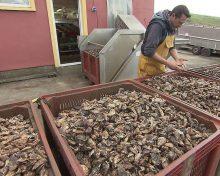 Huîtres nées en écloserie : pourquoi des associations tirent la sonnette d'alarme