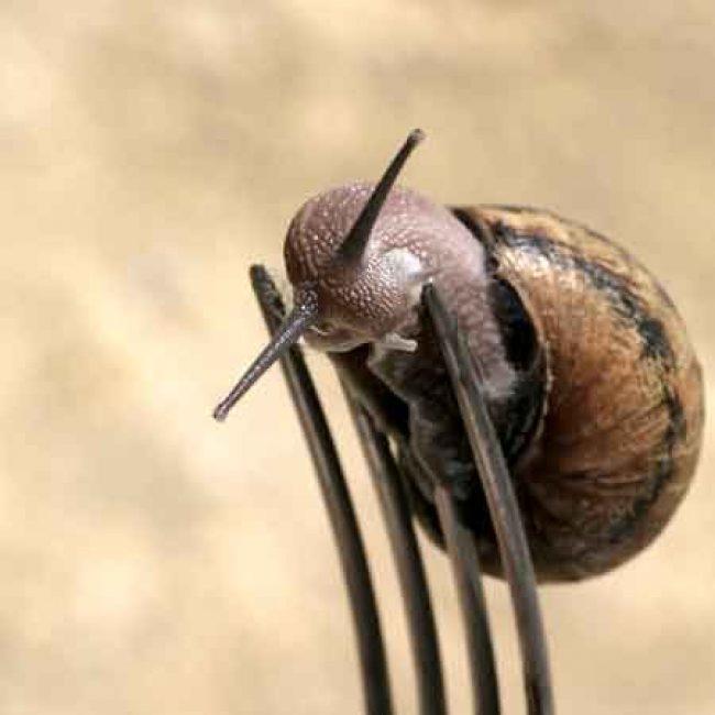 Escargots «Gros Gris» du Perche