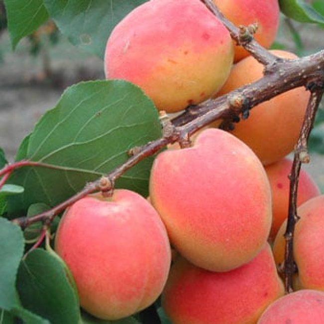 Les Abricots rouges du Roussillon
