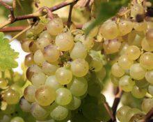 Histoires gourmandes – Le raisin