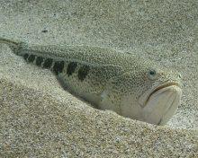 La Vive, poisson d'eau de mer