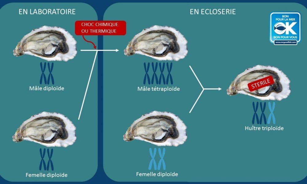 schéma huître triploïde